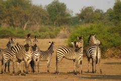 13 Zebra