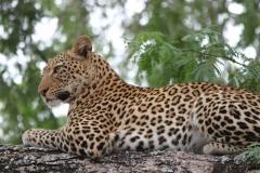 14 Leopard