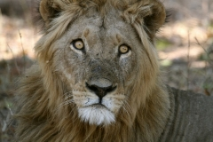 15 Young male Lion