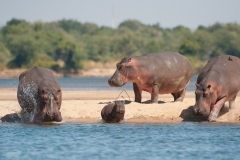 hippo running into the water