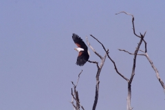 16 Fish Eagle