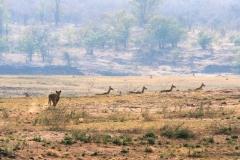 17 Lion chasing Impala